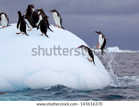 Jumping Gentoo Penguins on Iceberg - stock photo