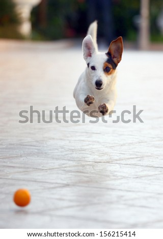 Jumping jack russell terrier for thrown ball aport. - stock photo