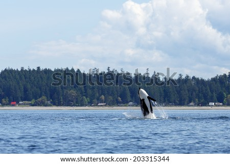 Jumping orca at Lund Canada - stock photo