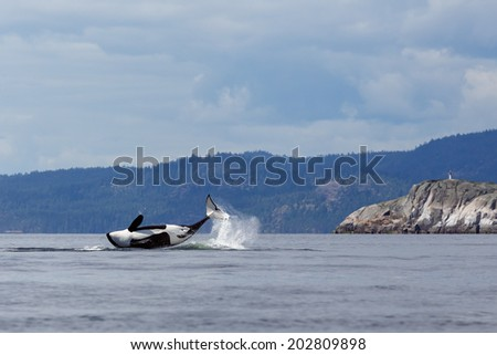 Jumping Orca or killer whale - stock photo