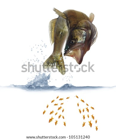 jumping out for fish zander on white background - stock photo