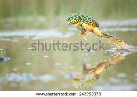 Jumping Pacman Frog with reclection. Image has grain or subject is blurry or noise or out of focus and soft focus when view at full resolution. (Shallow DOF, slight motion blur) - stock photo