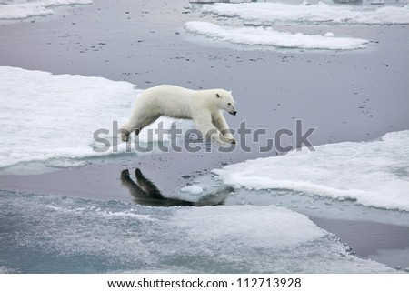 Jumping polar bear - stock photo