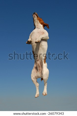 jumping purebred jack russel terrier in a blue sky
