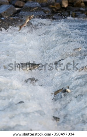 Jumping salmon at a river - stock photo