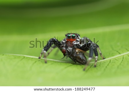 jumping spider and prey on green leaf