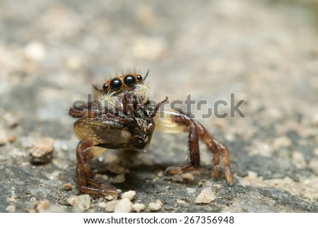 Jumping Spider, eating an Strange treehopper