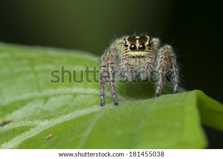 Jumping spider Evarcha arcuata on green leaf, Thailand - stock photo
