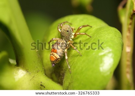 Jumping spider in rain forest  from Thailand