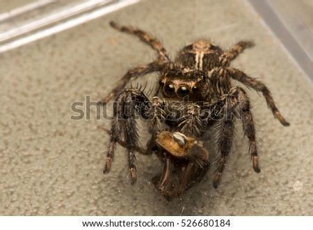 Jumping Spider is eating the victim