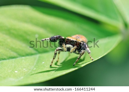 jumping spider is standing on the leaf