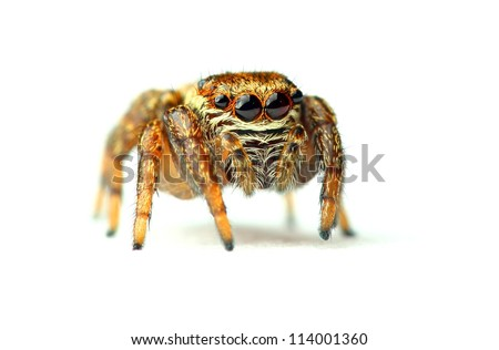 jumping spider isolated on white - stock photo