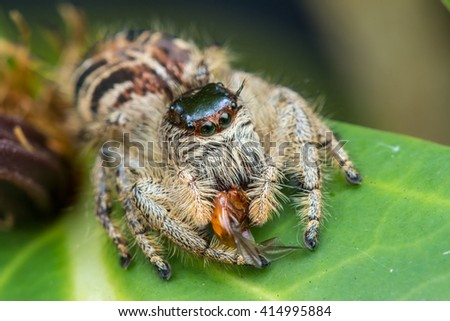 Jumping Spider / Jumping Spider with prey - stock photo