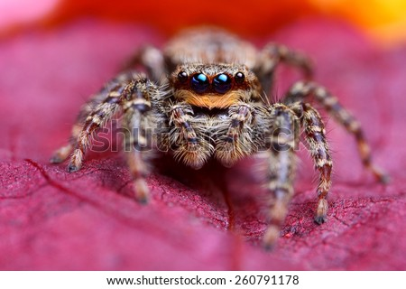 Jumping spider Marpissa muscosa - stock photo