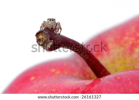 jumping spider on an apple - stock photo
