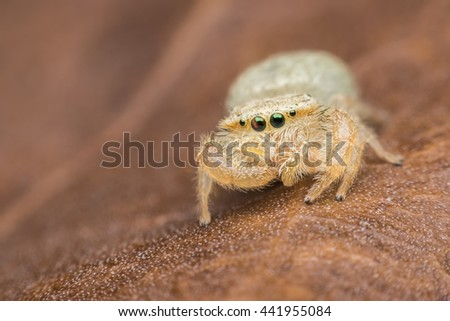 Jumping spider on brown leaf