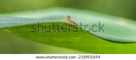 Jumping Spider on Green Leaf - stock photo