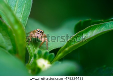 Jumping spider on green leaf.Close up