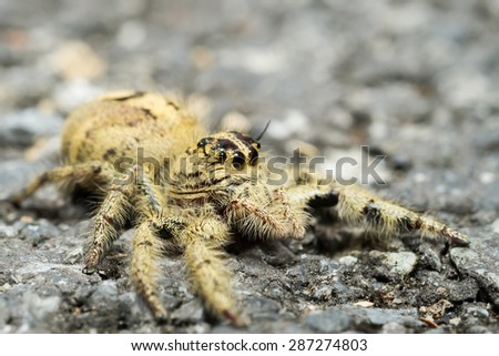 Jumping spider on the cement floor