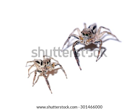 Jumping Spider on white background.
