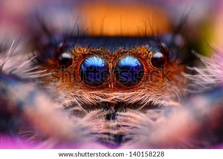 Jumping spider Phidippus regius head close up - stock photo