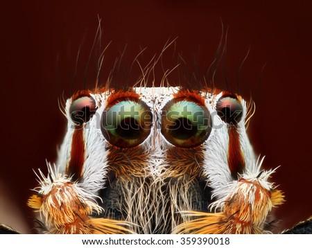 Jumping spider (Plexippus paykulli) portrait  - stock photo