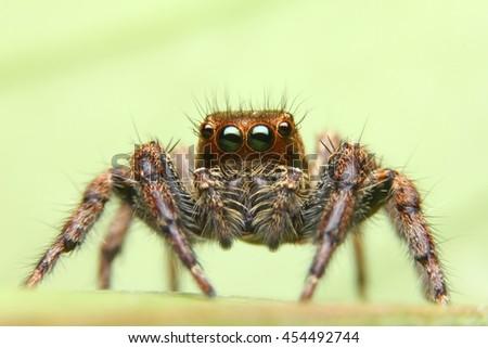 jumping spider spider in thailand