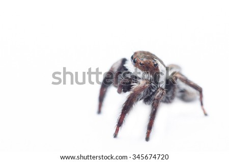 jumping spiders isolated on white background