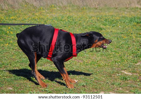 jumping young purebred belgian shepherd malinois in agility - stock photo