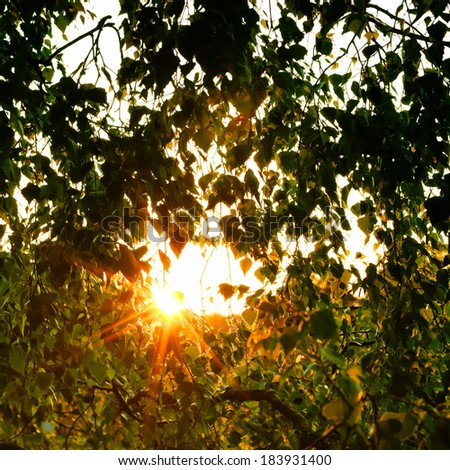 June evening. The last beams of the sun make the way through dense foliage of a birch - stock photo