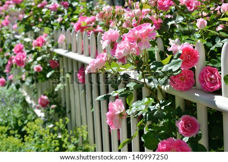 June garden. Climbing pink roses on white fence - stock photo