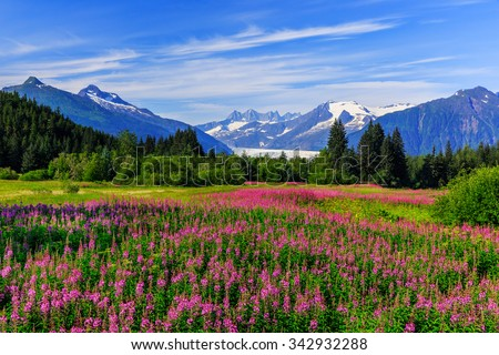 Juneau, Alaska. Mendenhall Glacier Viewpoint with Fireweed in bloom.  - stock photo