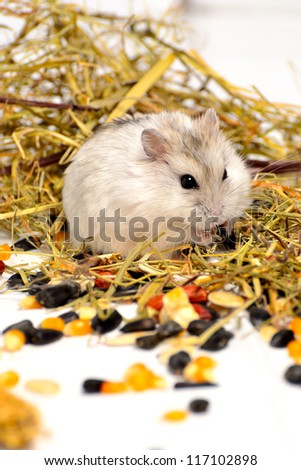Jungar hamster on a white background of dry grass and nuts