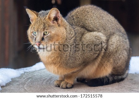 Jungle cat sitting on the porch with snowy background - stock photo