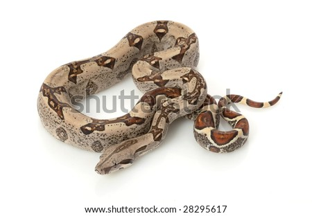 Jungle Columbian Red-tailed Boa (B.c. constrictor) isolated on white background. - stock photo