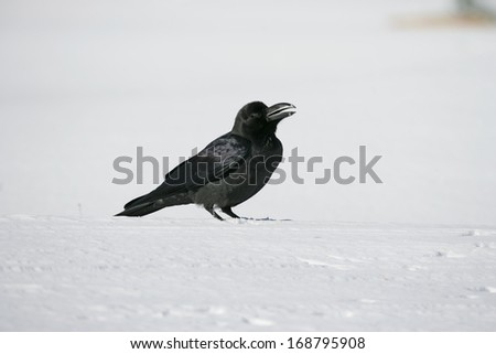 Jungle crow, Corvus macrorhynchos,  single bird on snow, Japan