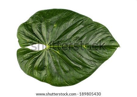 jungle leaf white background - stock photo