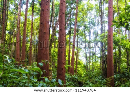 jungle-like forest on flores island with big cedar trees