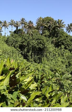 Jungle, Vanuatu - stock photo