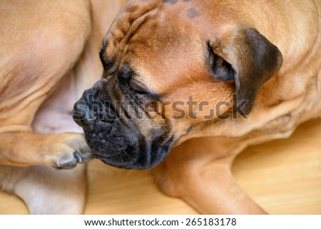 Junior bullmastiff dog lying on the floor - stock photo