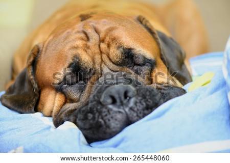 Junior bullmastiff dog lying on the sofa and resting close-up - stock photo