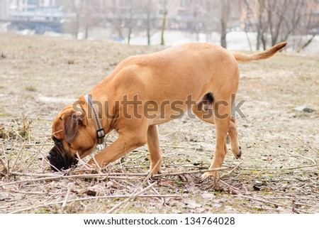 junior puppy bullmastiff play outside in the park. dog  9 months age.