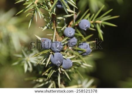 Juniper berries (Juniperus communis) - stock photo