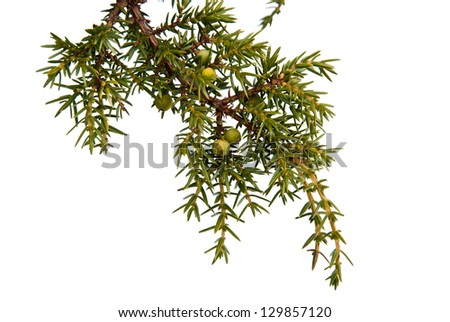 Juniper berries on a twig, isolated - stock photo