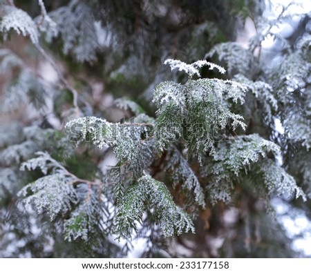 Juniper covered by early winter snow.