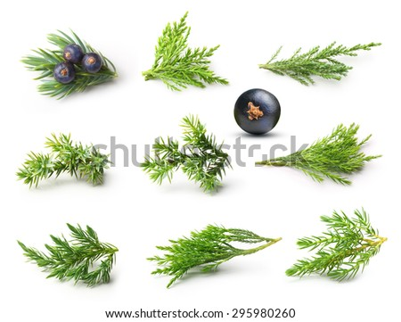 Juniper isolated on white background. - stock photo