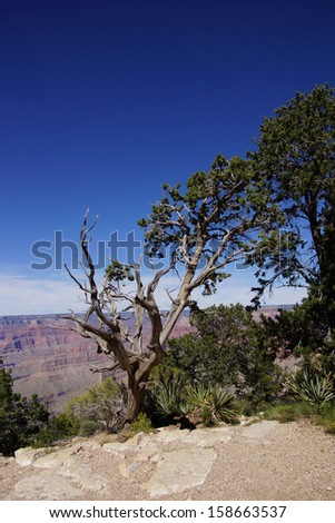 Juniper snag, looking north over the Grand Canyon and the Colorado River, at the Grand Canyon National Park, Arizona