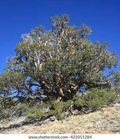 Juniper tree on a mountain side, California - stock photo