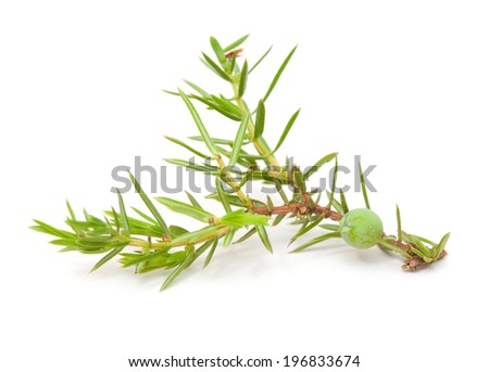 juniper twig with green berries isolated - stock photo