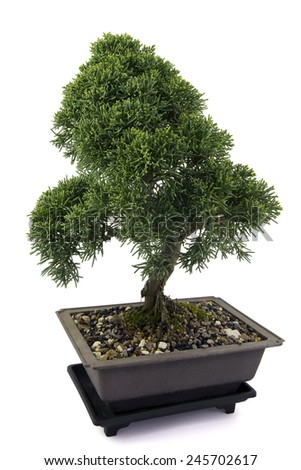 Junipers  bonsai  on white background